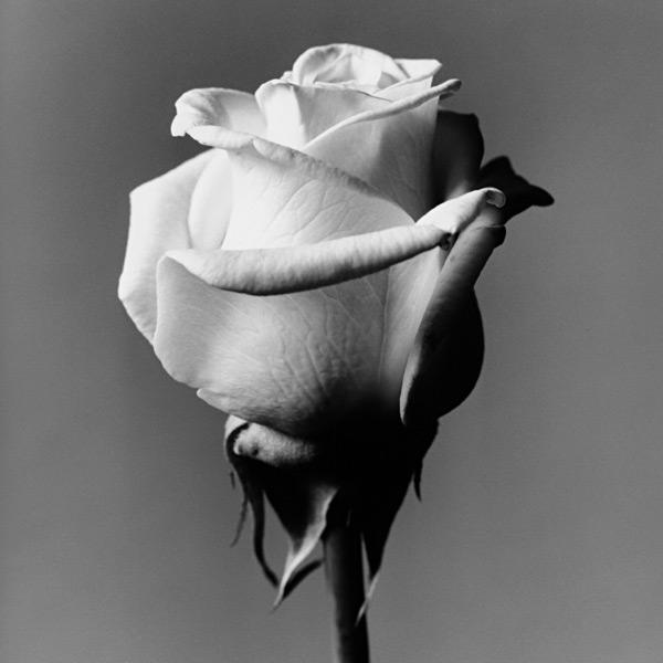 Rosa, by Fabio Ghidini